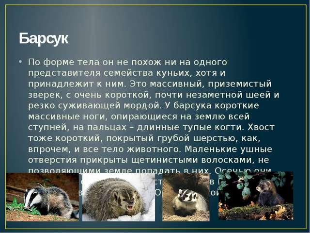 Барсук По форме тела он не похож ни на одного представителя семейства куньих,...