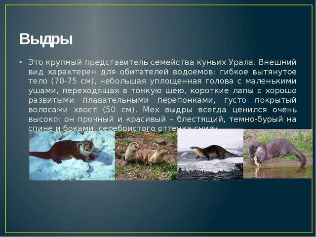 Выдры Это крупный представитель семейства куньих Урала. Внешний вид характере...