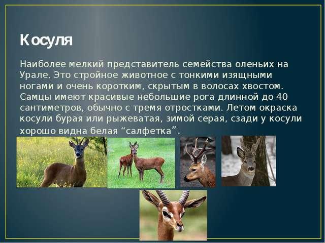 Косуля Наиболее мелкий представитель семейства оленьих на Урале. Это стройное...