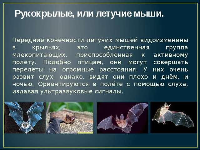Рукокрылые, или летучие мыши. Передние конечности летучих мышей видоизменены...