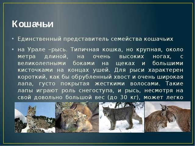 Кошачьи Единственный представитель семейства кошачьих на Урале –рысь. Типична...