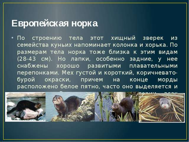 Европейская норка По строению тела этот хищный зверек из семейства куньих нап...
