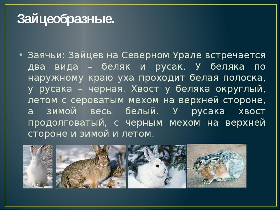 Зайцеобразные. Заячьи: Зайцев на Северном Урале встречается два вида – беляк...