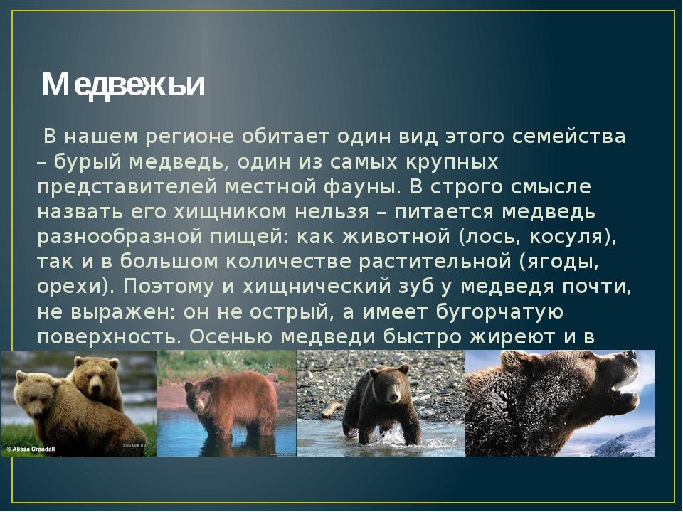 Медвежьи В нашем регионе обитает один вид этого семейства – бурый медведь, од...