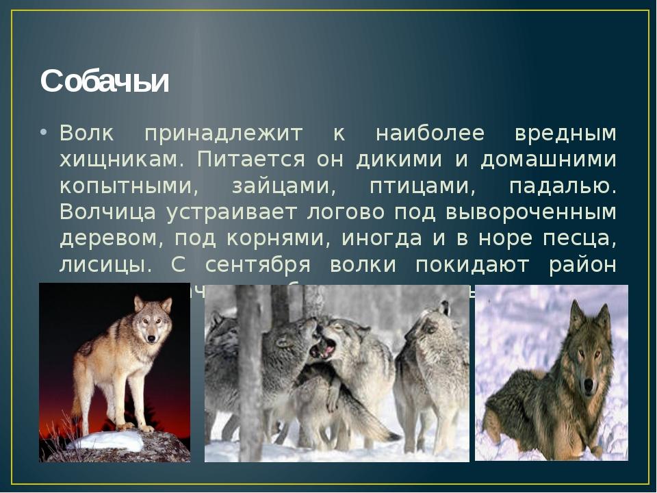 Собачьи Волк принадлежит к наиболее вредным хищникам. Питается он дикими и до...