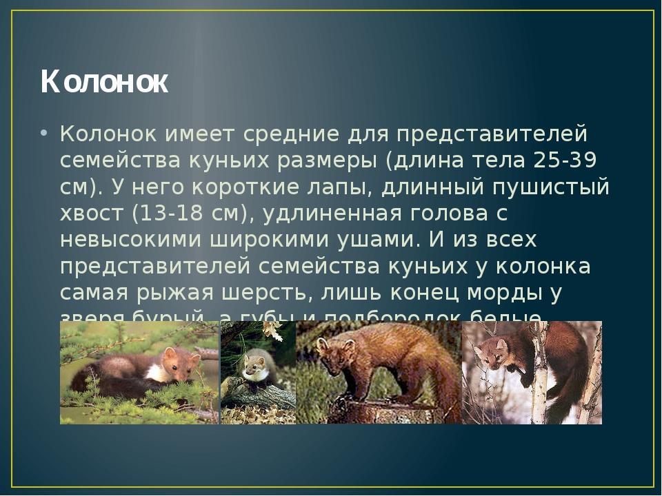 Колонок Колонок имеет средние для представителей семейства куньих размеры (дл...