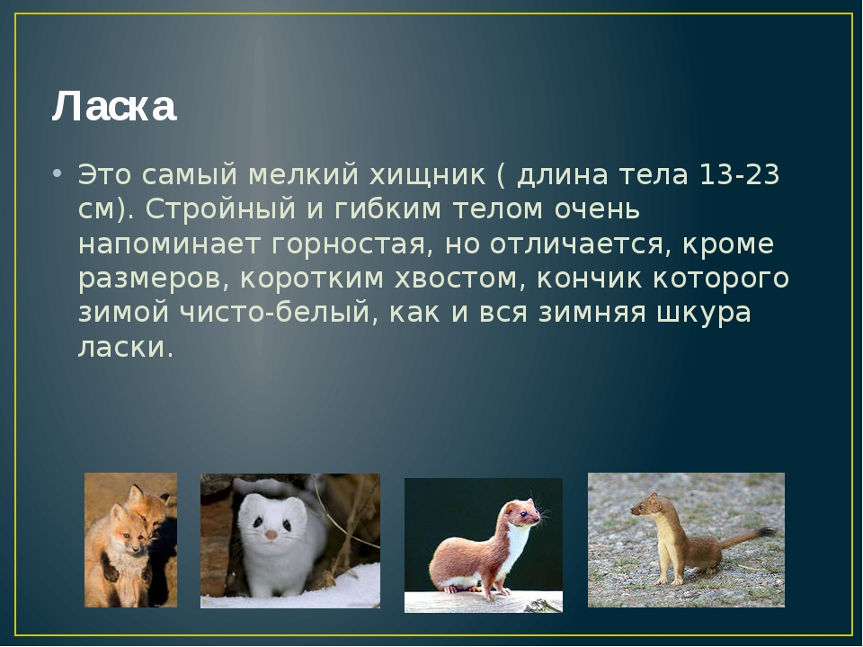 Ласка Это самый мелкий хищник ( длина тела 13-23 см). Стройный и гибким телом...