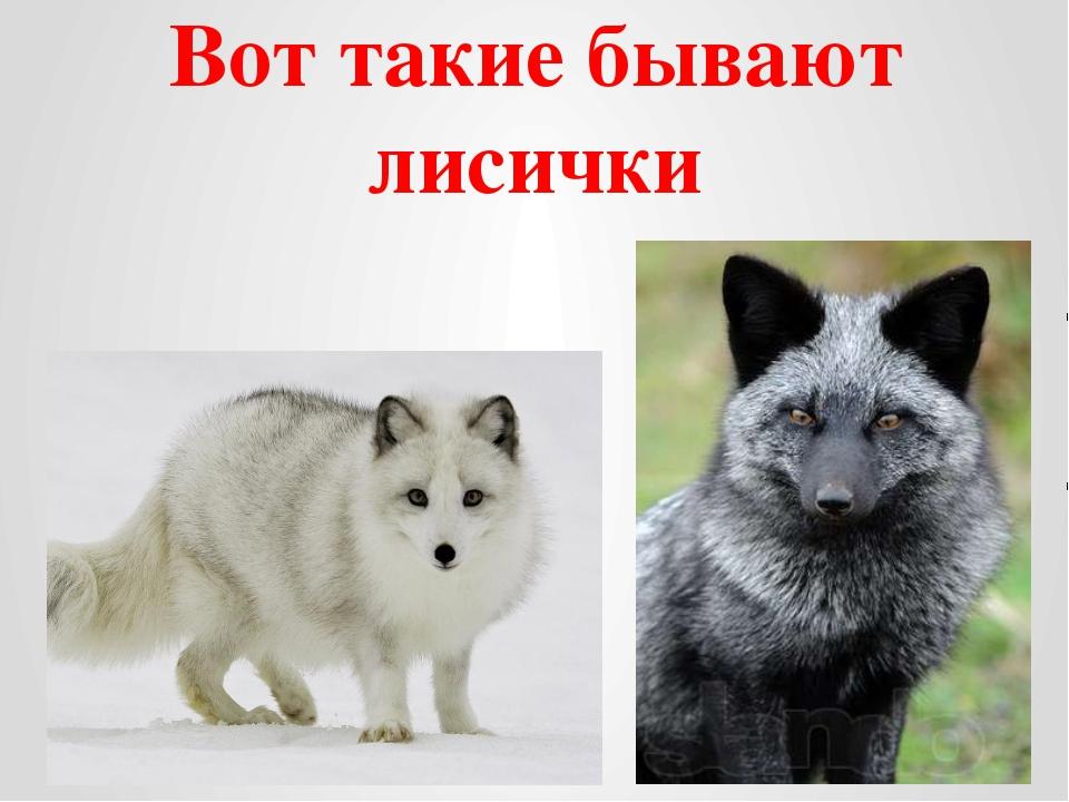 Вот такие бывают лисички