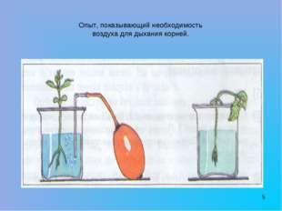 * Опыт, показывающий необходимость воздуха для дыхания корней.