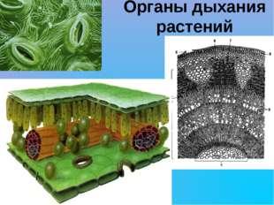 Органы дыхания растений