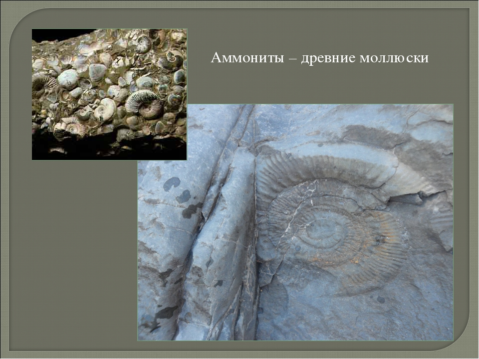 Аммониты – древние моллюски