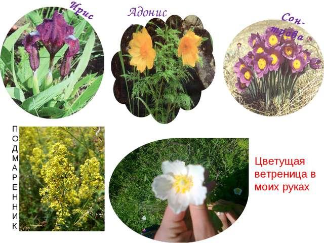 Ирис Адонис весенний Сон-трава П О Д М А Р Е Н Н И К Цветущая ветреница в мои...