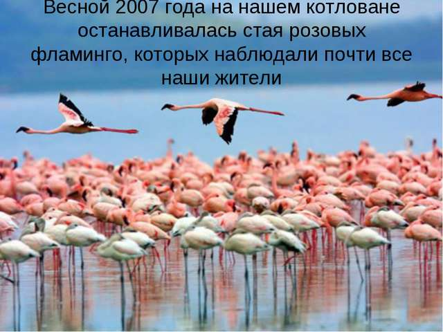 Весной 2007 года на нашем котловане останавливалась стая розовых фламинго, ко...