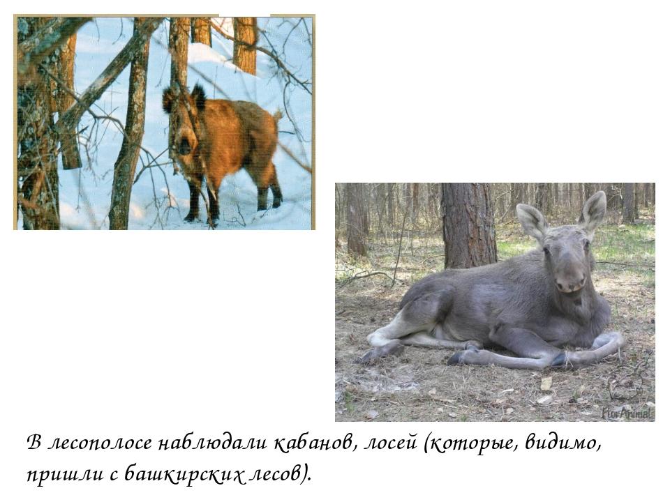 В лесополосе наблюдали кабанов, лосей (которые, видимо, пришли с башкирских л...