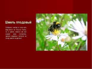 Шмель плодовый Собирать нектар и полу-чать мед могут не толь-ко пчелы, но и ш