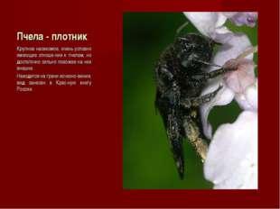 Пчела - плотник Крупное насекомое, очень условно имеющее отноше-ние к пчелам,