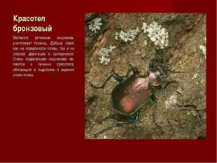 Красотел бронзовый Является активным хищником, уничтожает гусениц. Добычу лов