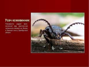 Усач кожевенник Повсеместно редкий мало-изученный вид, фактичес-кая численнос
