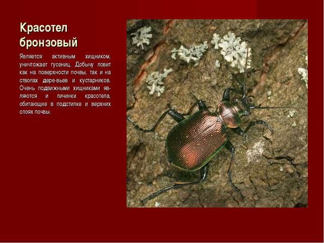 Красотел бронзовый Является активным хищником, уничтожает гусениц. Добычу лов...