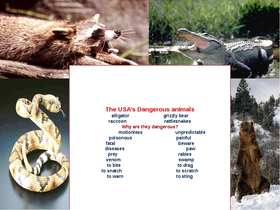 The USA's Dangerous animals alligator grizzly bear raccoon rattlesnakes Why...