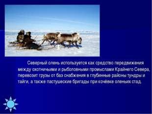 Северный олень используется как средство передвижения между охотничьими и