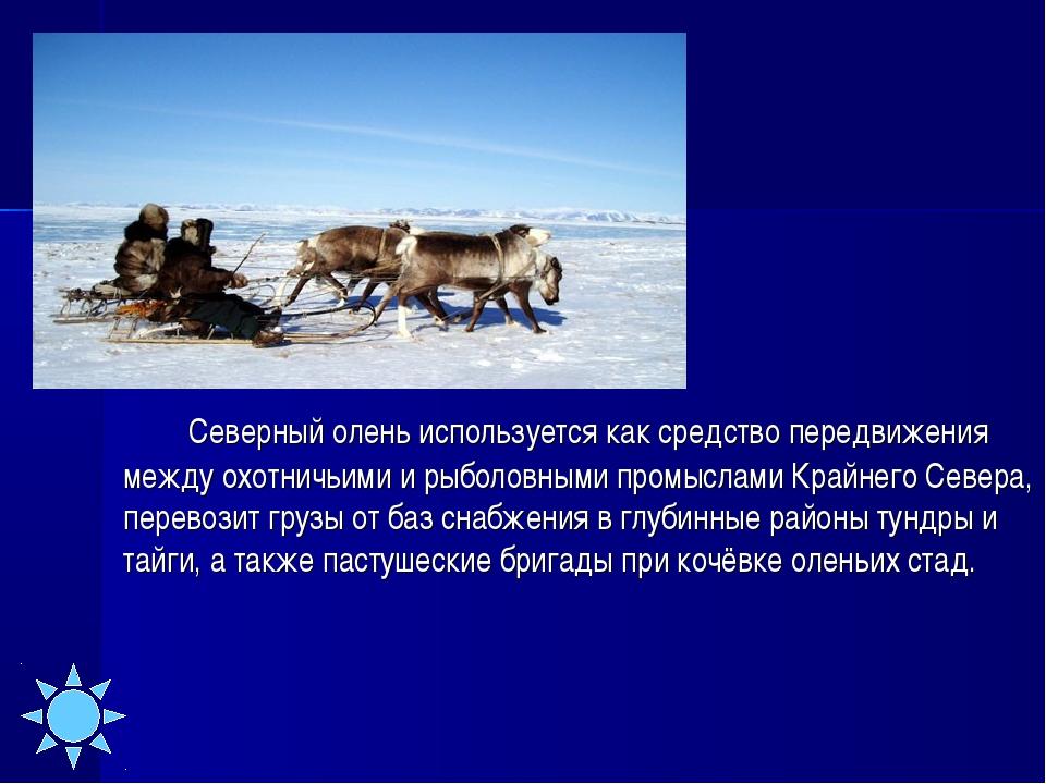 Северный олень используется как средство передвижения между охотничьими и...