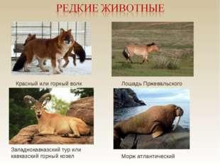 Красный или горный волк Лошадь Пржевальского Западнокавказский тур или кавка