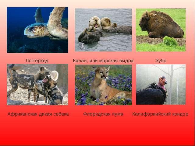Логгерхед Калан, или морская выдра Зубр Африканская дикая собака Флоридская п...