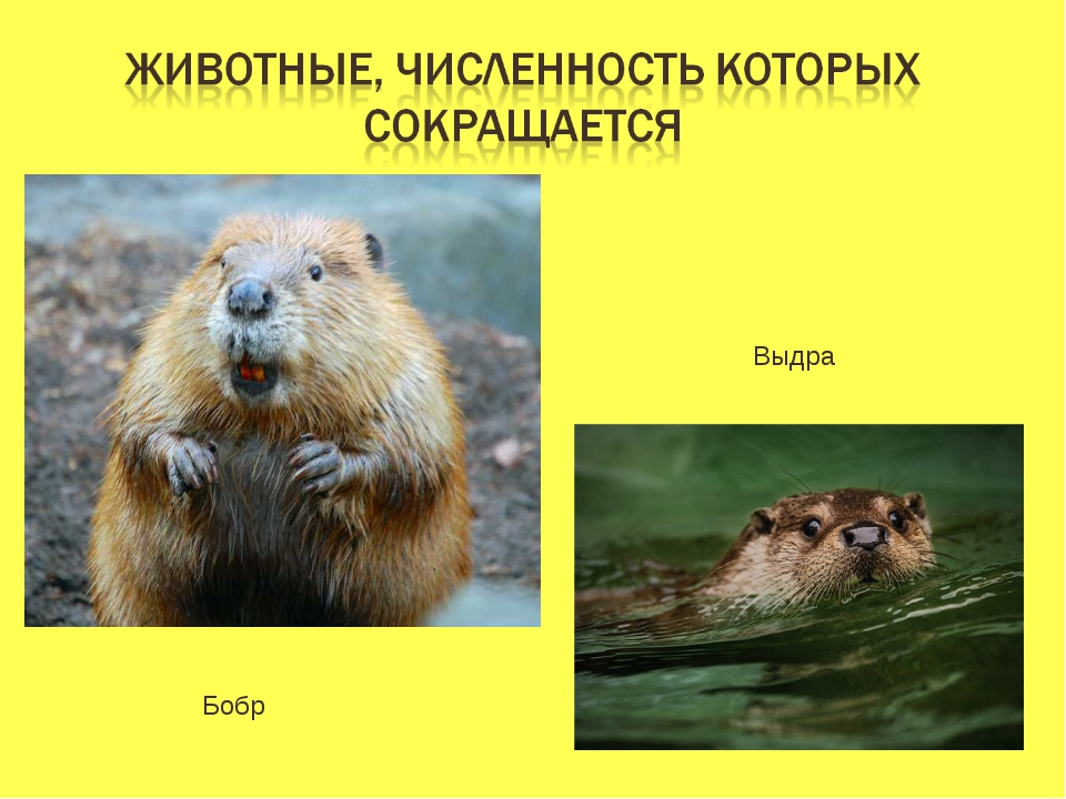 Бобр Выдра