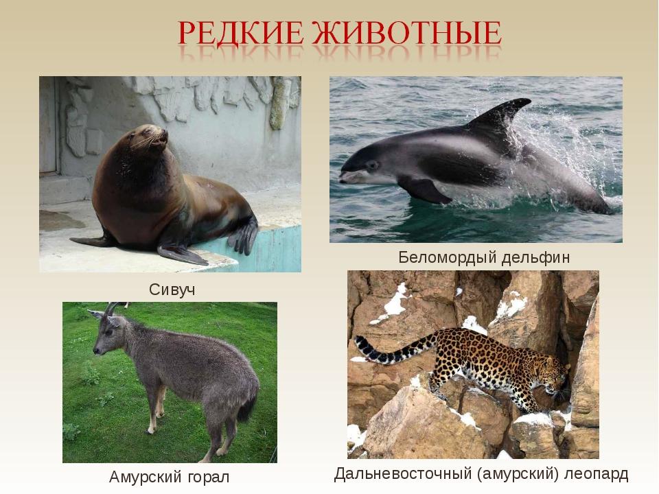 Сивуч Беломордый дельфин Дальневосточный (амурский) леопард Амурский горал