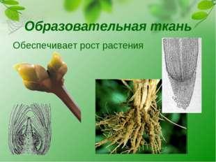 Образовательная ткань Обеспечивает рост растения