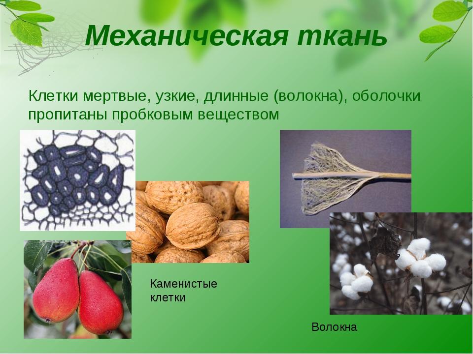 Механическая ткань Клетки мертвые, узкие, длинные (волокна), оболочки пропита...