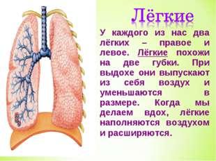 У каждого из нас два лёгких – правое и левое. Лёгкие похожи на две губки. При