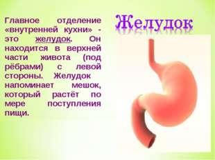 Главное отделение «внутренней кухни» - это желудок. Он находится в верхней ча