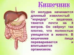 """От желудка начинается длинный извилистый """"коридор"""" – кишечник. тянется почти"""