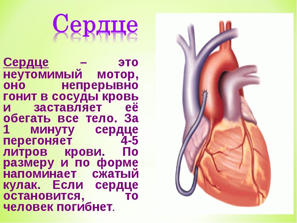 Доклад орган человека сердце 7746