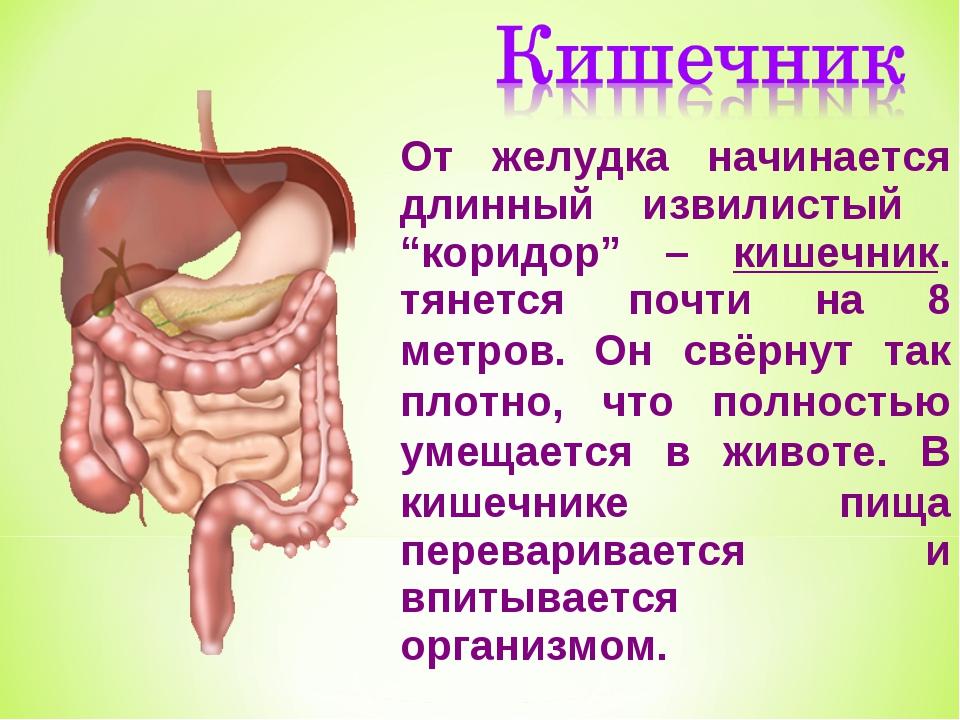 Анатомия для детей желудок