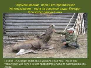 Одомашнивание лося и его практическое использование – одна из основных задач