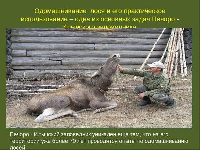 Одомашнивание лося и его практическое использование – одна из основных задач...