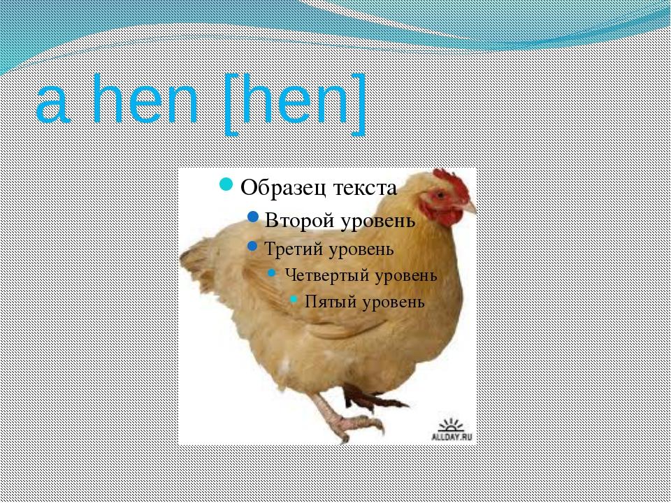 a hen [hen]