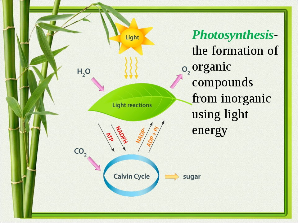 Photosynthesis-the formation of organic compounds from inorganic using light...