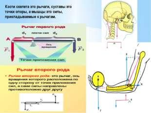 Кости скелета это рычаги, суставы это точки опоры, а мышцы это силы, приклады