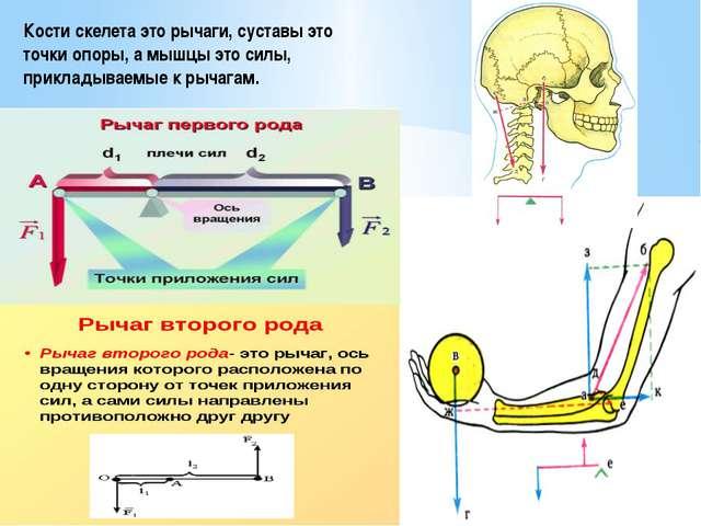 Кости скелета это рычаги, суставы это точки опоры, а мышцы это силы, приклады...