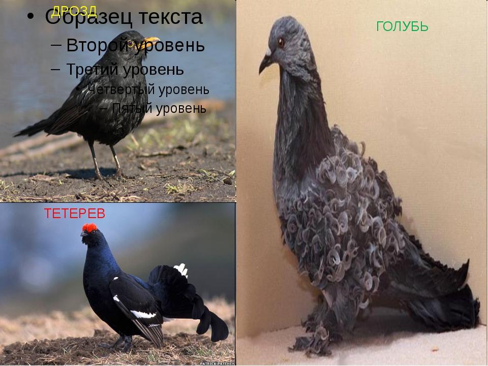 ДРОЗД ГОЛУБЬ ТЕТЕРЕВ
