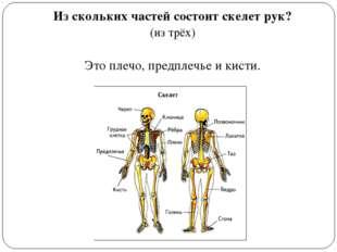 Из скольких частей состоит скелет рук? (из трёх) Это плечо, предплечье и кисти.