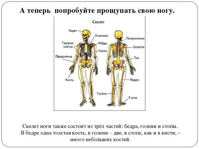 А теперь попробуйте прощупать свою ногу. Скелет ноги также состоит из трёх ча...