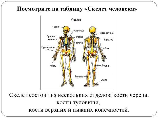 Посмотрите на таблицу «Скелет человека» Скелет состоит из нескольких отделов:...