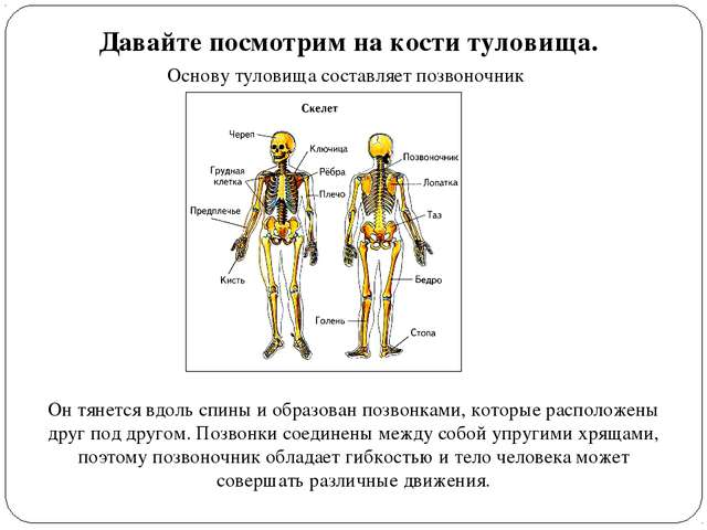 Давайте посмотрим на кости туловища. Основу туловища составляет позвоночник О...