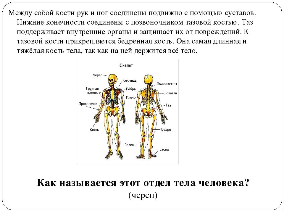 Между собой кости рук и ног соединены подвижно с помощью суставов. Нижние кон...