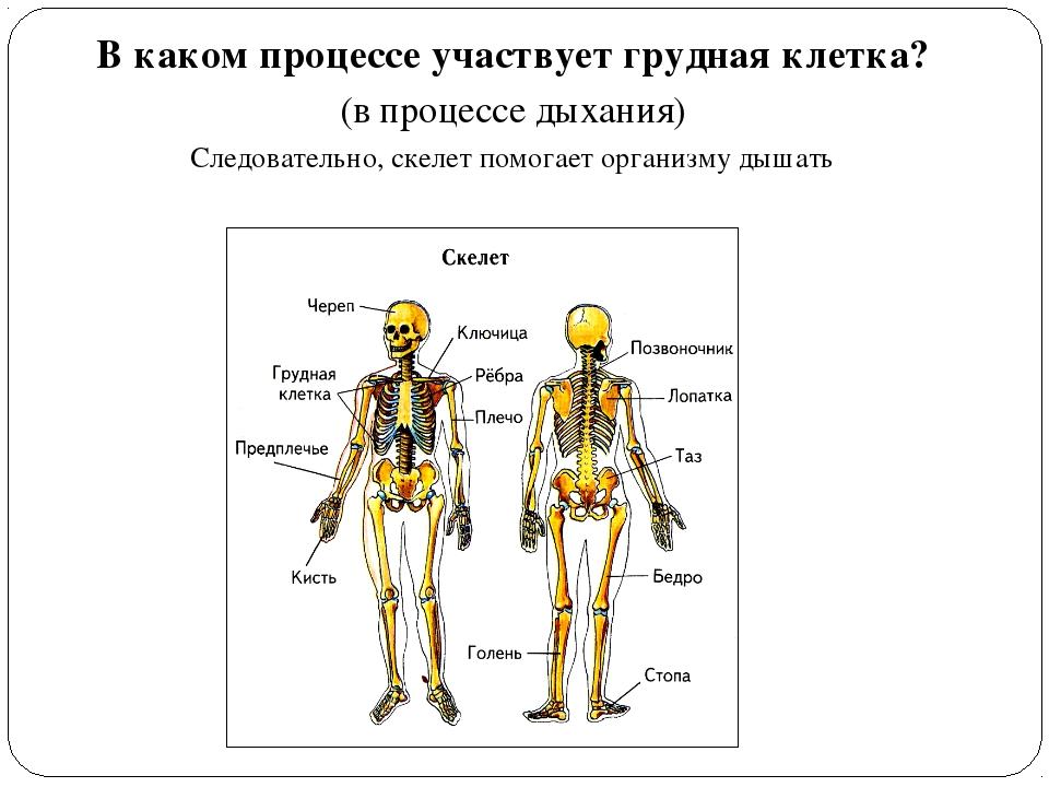 В каком процессе участвует грудная клетка? (в процессе дыхания) Следовательно...